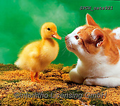 Xavier, ANIMALS, REALISTISCHE TIERE, ANIMALES REALISTICOS, cats, photos+++++,SPCHCATS921,#a#, EVERYDAY