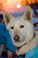 Jim Laniers sled dog *Smokey* alert @ feeding time in early morning 2006 Iditarod Alaska Winter