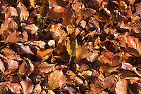 Close up of autumn leaves at Kirk House, Chipping, Preston, Lancashire.