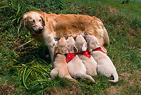 A Golden Retriever dog nurses puppies in bandanas.