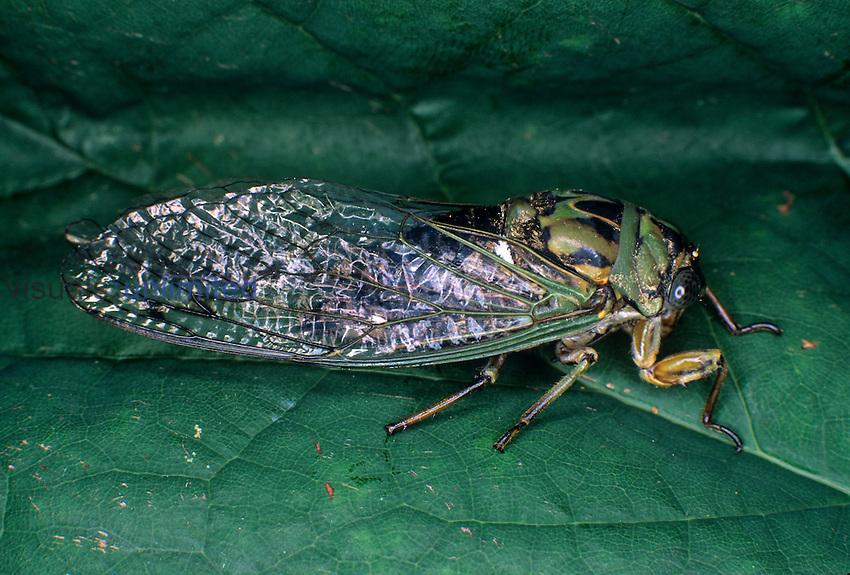 Dogday Harvestfly Cicada (Tibicen canicularis)...