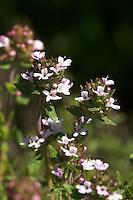 Echter Thymian, Quendel, Thymus vulgaris, Common Thyme, Thym commun