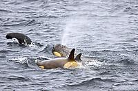 pod of orcas or killer whales, Orcinus orca, Antarctic Peninsula, Antarctica, Type B orca, Orcinus nanus