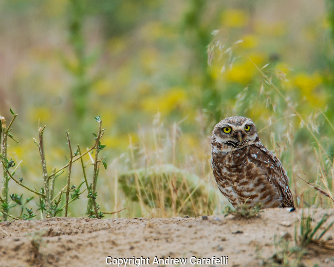 About the size of a male Robbin, these diminutive owls nest in empty prairie dog burrows.
