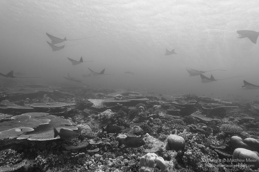 Maarehaa Kandu, Maarehaa Island, Huvadhoo Atoll, Maldives; several Spotted Eagle Rays (Aetobatus narinari) swimming in formation over the hard coral reef