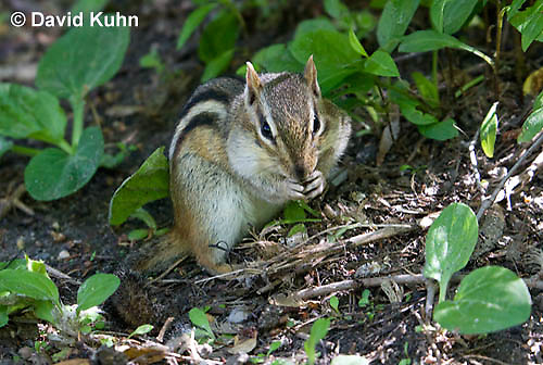 0701-1003  Eastern chipmunk Eating on Forest Floor, Tamias striatus  © David Kuhn/Dwight Kuhn Photography