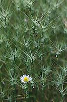 Ovate goatgrass (Aegilops geniculata) and an unidentified flower. Hutovo Blato Nature Park. May 2009. Bosnia-Herzegovina.<br /> Elio della Ferrera / Wild Wonders of Europe