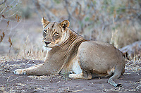 The lions at Mashatu are big and beautiful.  They look less beat up than their South African counterparts in part due to less competition from other lions.  The lioness was pregnant.