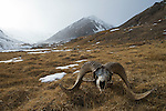 Argali (Ovis ammon) male bones left after being killed by Snow Leopard (Panthera uncia), Sarychat-Ertash Strict Nature Reserve, Tien Shan Mountains, eastern Kyrgyzstan