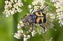 Bee beetle {Trichius fasciatus} Nordtirol, Austrian Alps, Austria, July.