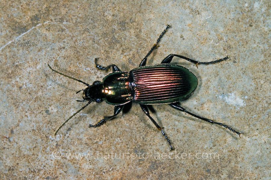 Zierlicher Buntgrabläufer, Zierlicher Bunt-Grabläufer, Poecilus lepidus, ground beetle
