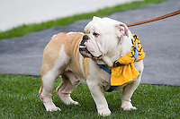 The Citadel Bulldog mascot is shown on the sidelines during a football game between The Citadel Bulldogs and the Pitt Panthers on 09-23-06 at Heinz Field, Pittsburgh, Pennsylvania.