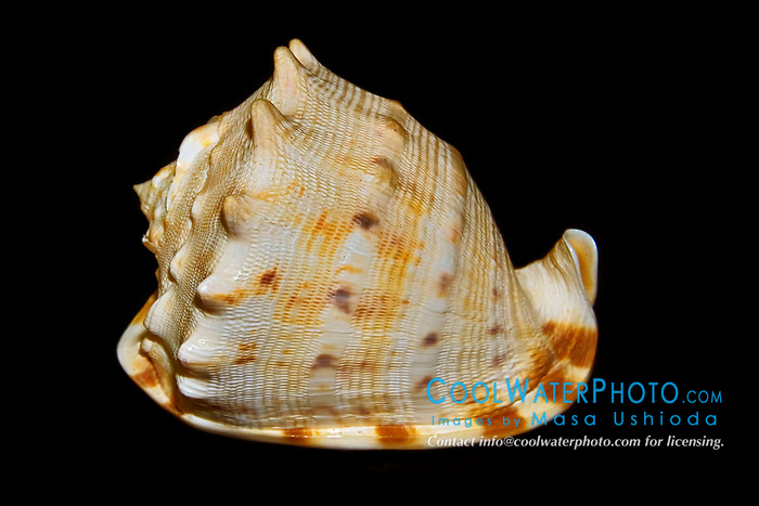 horned helmet snail shell, Cassis cornuta, known to feed on sea urchins, sea biscuits and sand dollars - the heavy, expanded lip of the helmet's shell is used to pin the prey to the bottom while the snail removes the spines and bores a hole into the urchin shell, Indo-Pacific Ocean
