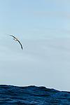 Buller's Albatross (Thalassarche bulleri) gliding over ocean, Kaikoura, South Island, New Zealand