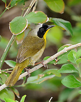 Common Yellowthroat, South Padre Island, Texas