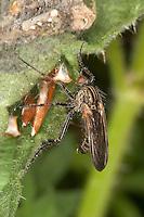 Gewürfelte Tanzfliege, Empis tesselata, Tanzfliegen, Rennfliegen, Empididae, dance flies, dagger flies