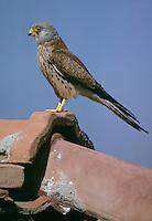 Rötelfalke, Rötel-Falke, Männchen, Falke, Falco naumanni, lesser kestrel