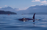 Orca whale, sea kayakers, Inside Passage, Johnstone Strait, Vancouver Island, British Columbia, Canada, North America, Northern resident pod, Orcinus orca,