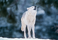 Gray Wolf (Canis lupus) howling in winter.