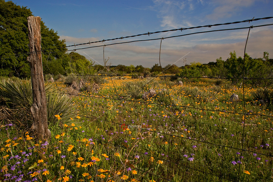 Yellow Daisy Flowers and purple Prairie Verbena in field, looking through silhouette of barb-wire fence.