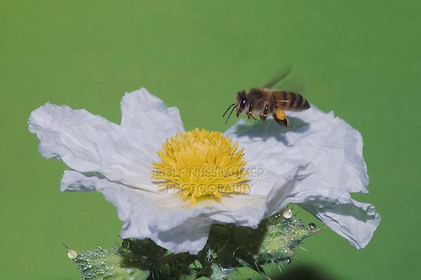 Honey Bee (Apis mellifera), adult in flight on White Prickly Poppy (Argemone albiflora)Sinton, Corpus Christi, Coastal Bend, Texas, USA