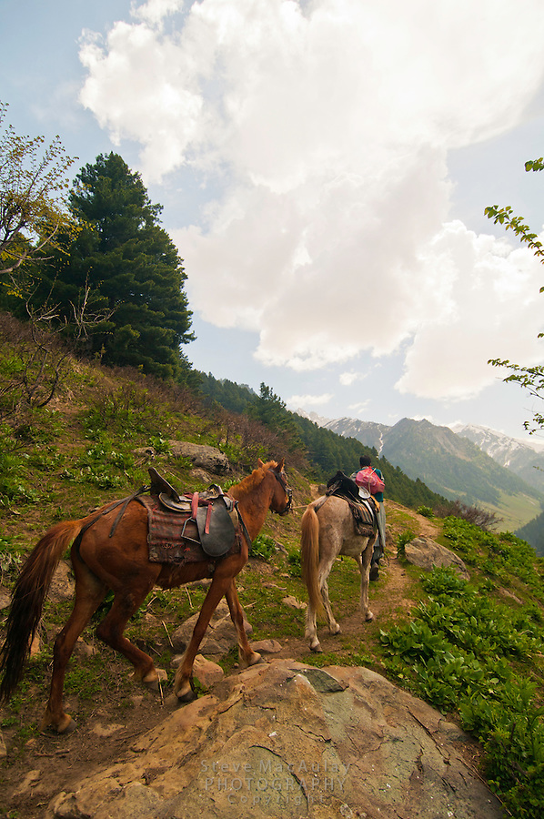 Local guide leading horses up trail, Gangabal Lake region of Kashmiri Himalayas, India.