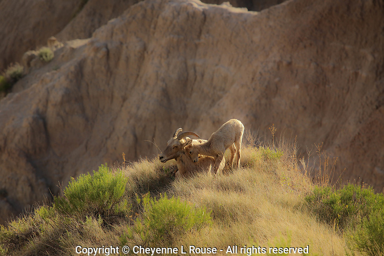 Badlands Love - Big Horn and sweet baby - Badlands NP, South Dakota