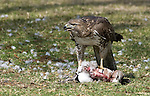 Red-tailed Hawk.Buteo jamaicensis.with a Kill at Lake Balboa Los Angeles, Ca. February 13, 2008. Fitzroy Barrett