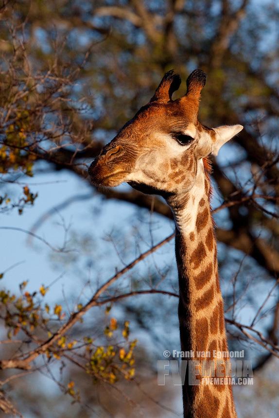 Osteophagia - Giraffe (Giraffa Camelopardalis).Giraffe chewing a bone to obtain calcium. June 2009, winter.  Greater Kruger National Park, Limpopo, South Africa.