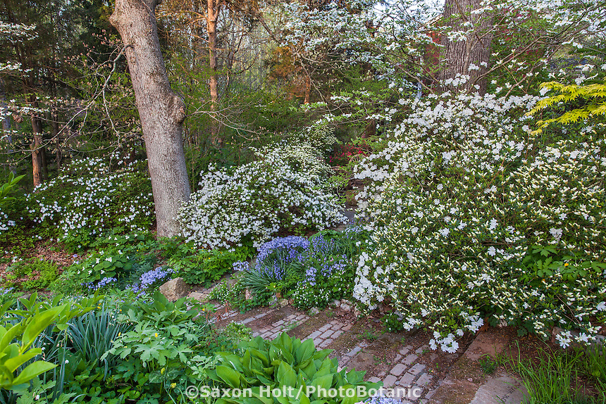 White flowering Snow Azalea shrubs (Kurume variety) along hill side steps, spring woodland garden, Boninti Garden, Virginia