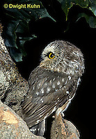 OW02-305b  Saw-whet owl - at nest cavity - Aegolius acadicus