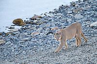 A male puma walks along the shores of a lake in southern Chile.