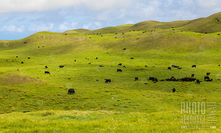 Cattle graze in the lush green pastures of Waimea on the Big Island of Hawai'i.