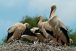 White Stork, Ciconia ciconia, Camargue, on nest with young chicks, white and black feathers, red bill and legs.France....