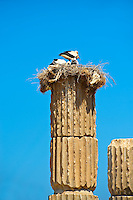 The Hellanistic Ionic columns of the Apollo Smintheion Sanctuary with Storks nesting ontop, near Gulpinar Village Turkey. The Temple of Apollo is dedicated rather bizarrely to Apollo as a Slayer of Mice.