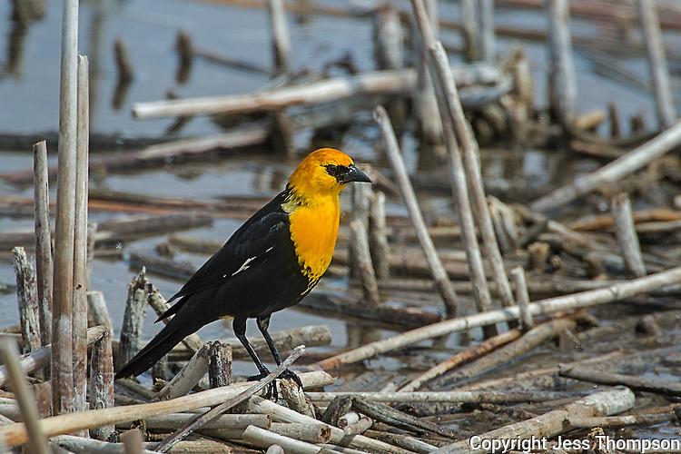 Yellow-headed Blackbird, Hutton Lake NWR
