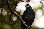 Common Black-hawk (Buteogallus anthracinus), Tortuguero National Park, Costa Rica