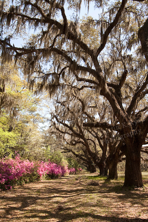 Live Oak Trees and Spanish Moss hanging from the branches found in South Carolina Azaleas pink blooming flowers sun lit south carolina lowcountry