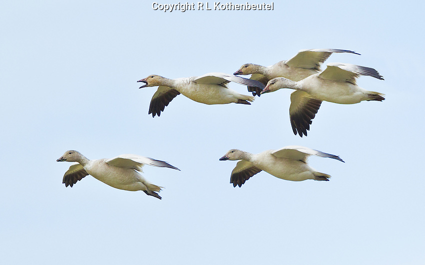 A group of juvenile snow geese in flight over the Skagit Flats look for a landing space amongst a large flock of geese.<br /> Skagit Flats near Mount Vernon, Washington<br /> 3/17/2013