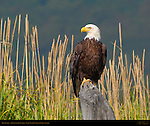 Bald Eagle, Silver Salmon Creek, Lake Clark National Park, Alaska
