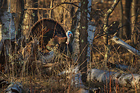 Male eastern wild turkey displaying deep in the northern forest.
