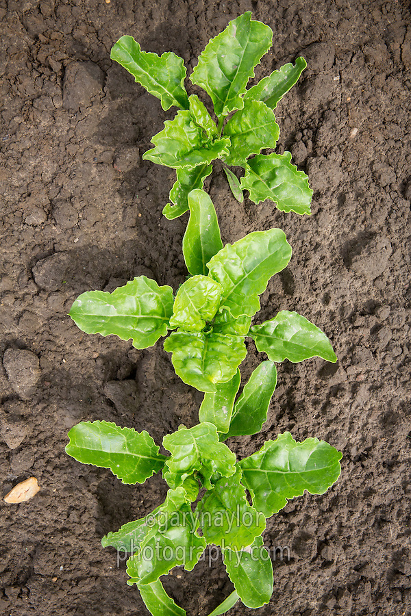 Sugar beet plants - May South Lincolnhire