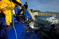 Bluefin Tuna, Thunnus thynnus, harvest, Mexico, Pacific Ocean