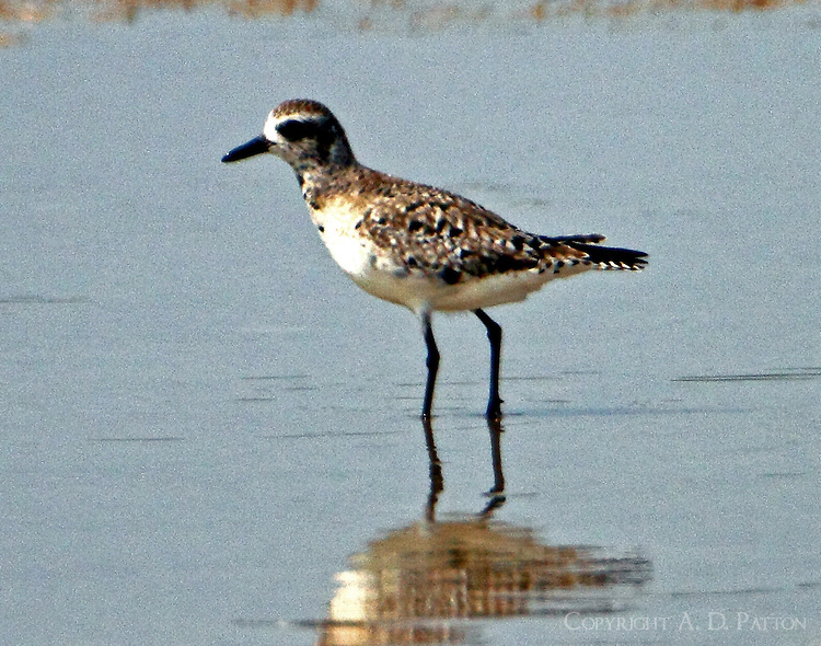 American golden-plover molting to breeding plumage in early April