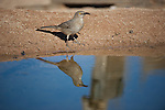 Curve-billed thrasher at a desert pond