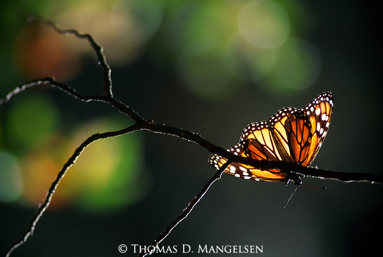 Suncatcher - Monarch Butterfly..El Rosario Monarch Butterfly Sanctuary, Michoacan, Mexico..Print 2894