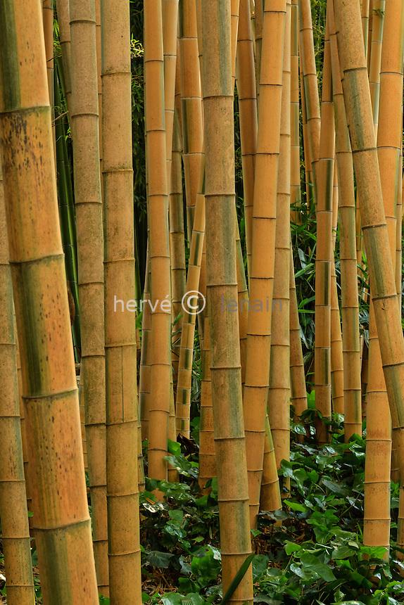 France, Gard, Générargues, LA BAMBOUSERAIE : bambou, Phyllostachys pubescens 'Bicolor'.