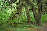 Olympic National Park, WA     <br /> Moss and lichen covered bigleaf maples (Acer marcophyllum) along the Hall of Mosses trail