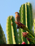 House Finch on Cactus Flower, American rosefinch, Southern California