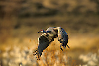 Sandhill Crane (Grus canadensis) Takeoff at Sunrise
